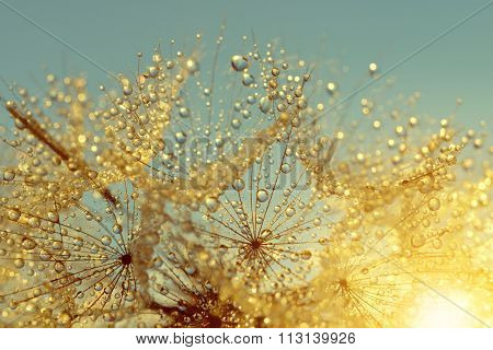 Dewy dandelion flower at sunrise close up. Natural backgrounds.