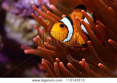 Amphiprion Ocellaris Clownfish In Marine Aquarium