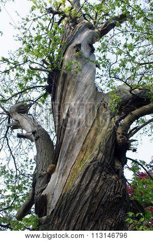 Old sweet chestnut tree