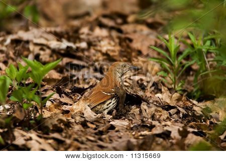 Brown Thrasher foraging in leaves on forest floor poster