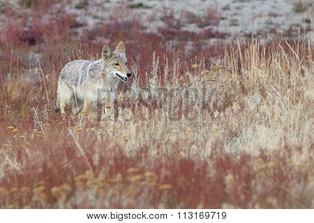 Coyote in high grass