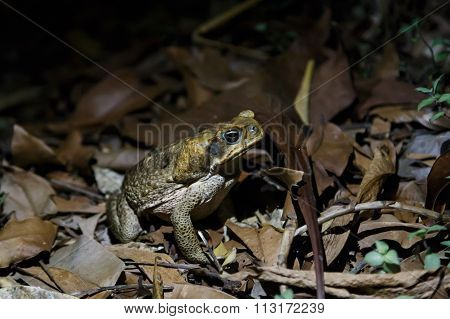 Cane toad in the night