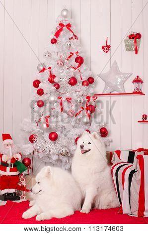 poster of Samoyed dog near christmas decoration. White fluffy dog.