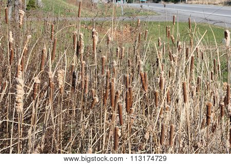 Cattails in Ditch