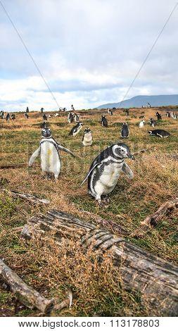 The penguins in tierra del fuego