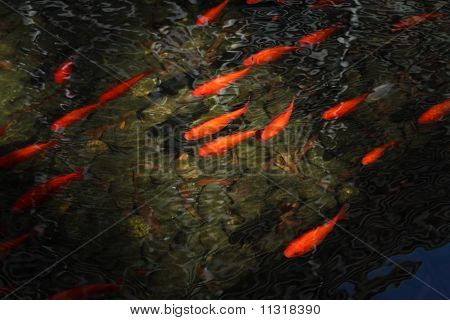 carp fish in pond with light stream poster