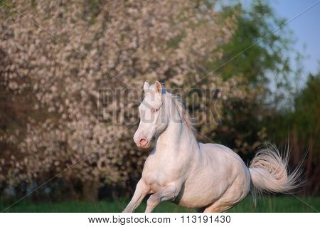 Beautiful horse isabella unusual suit jumping on a background of a blossoming tree