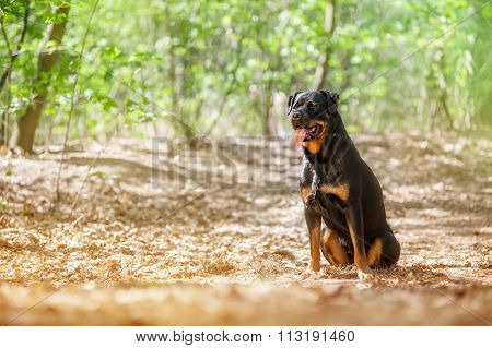 Beautiful Rottweiler dog sitting on the grass and looking on a beautiful background with a haze.