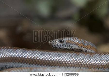 Close up of Rosy Boa Snake