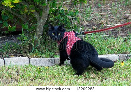 Black Cat Walking On Leash