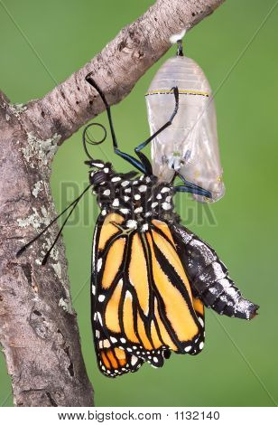 Monarch Emerged From Chrysalis