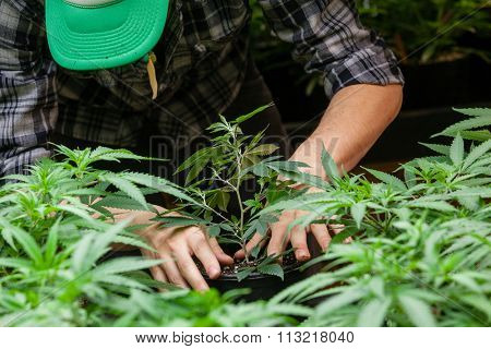 a farmer puts his marijuana plant into soil