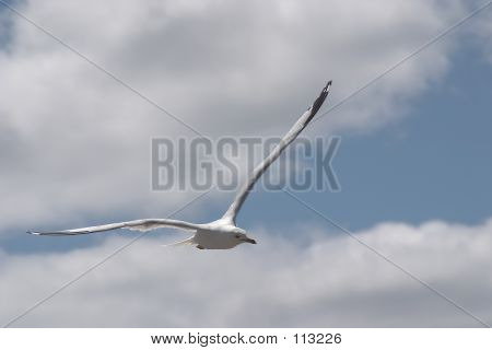 A seagull in flight. poster