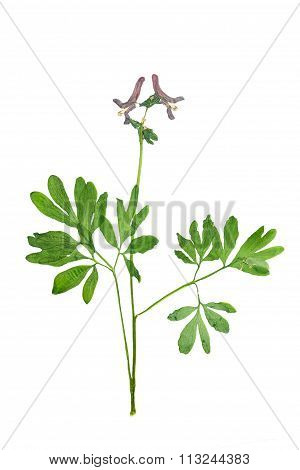 Pressed And Dried Corydalis Cava Flowers With Green Leaves