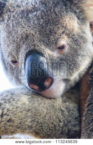 Pondering Koala