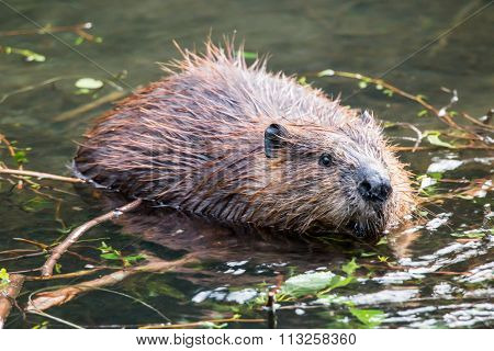 Wild beavers Horseshoe Lake Denali national park Alaska North Am