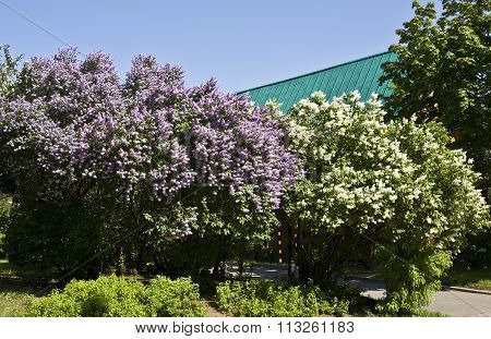 Big lilas trees in blossom in lilas garden recorded in Lilas botanic garden Moscow.