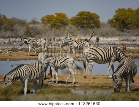Zebras in the savannah of Etosha National Park