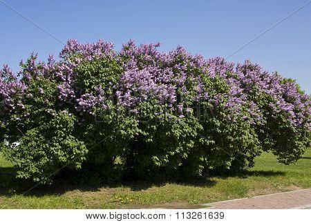 Spring landscape - big shrub of purple lilac in park.