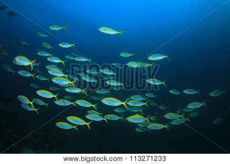 School of fish: Yellowback Fusiliers