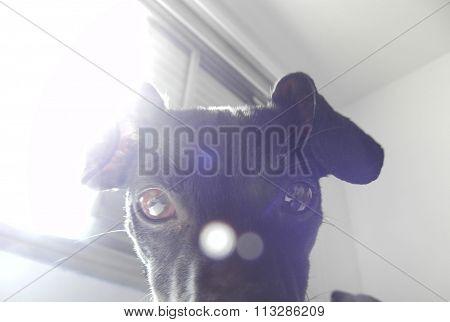 Olhos de cachorro