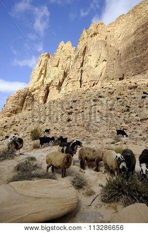 Sheep Herd In Jordan Desert.