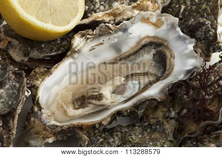 Close up of an open fresh raw pacific oyster ready to eat