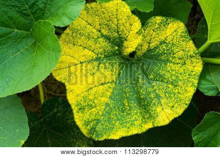 Big Leaves Of The Pumpkin Plant