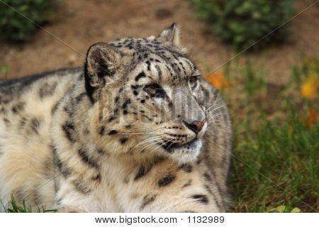 a portrait snow leopard uncia uncia panthera uncia poster