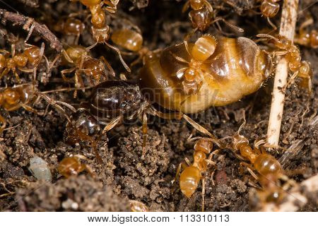 Yellow meadow ants (Lasius flavus) tending queen