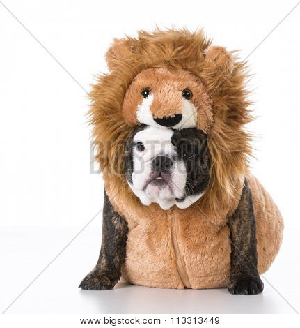 english bulldog puppy wearing lion costume on white background