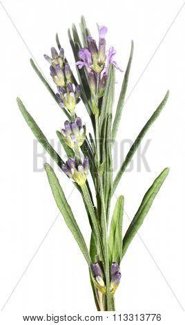 Lavender flowers Lavandula angustifolia