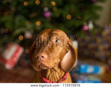 Young Vizsla Dog