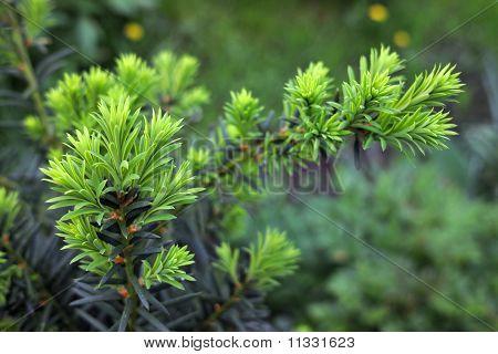 Eibe (Taxus Cuspidata). Wachsenden Zweig der Japanische Eibe.
