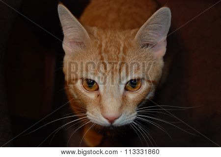 Ginger Cat Face