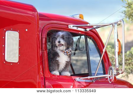 A small black and white dog is looking out the window in a  big red truck.