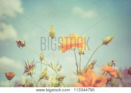 Soft Focus Yellow Cosmos Flower On Vintage Pastel Background.
