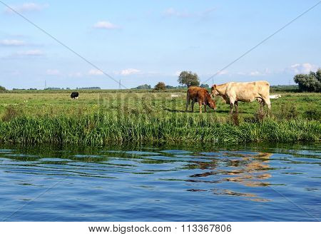 Charolais Cow Mother and Red Calf