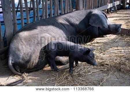 Cute Baby Black Pig And Mom Pig Sleeping In Pigpen.