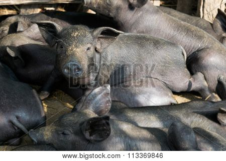 Group Cute Baby Black Pig Sleeping In Pigpen.