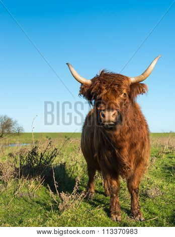Proudly Posing Highland Cow From Close
