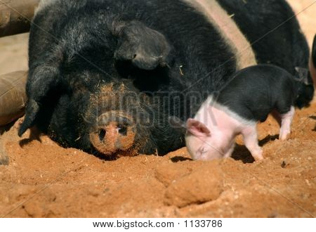 Piglet And Sow