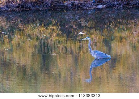 Blue Heron Bird in Toronto Park