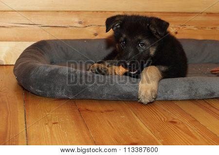 shepherd puppy dog