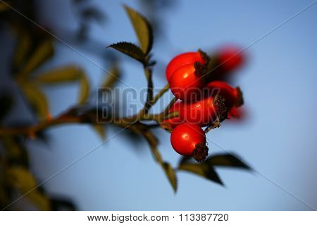 Twig Of Dogs Rose Berry
