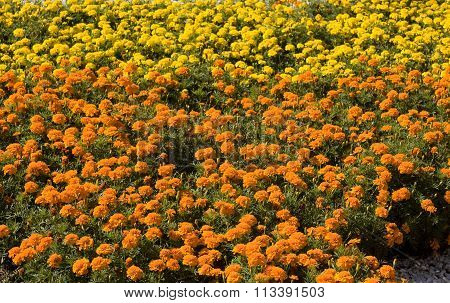 Flowerbed with yellow and orange marigold flowers.