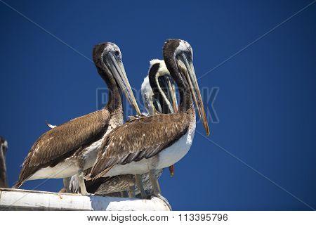 Pelican .