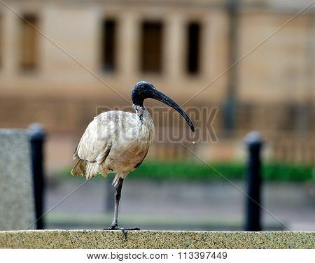 Ibis in the city, bird in blur city background, Australian Ibis, Australian Ibis in Sydney city, Aus