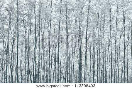 Winter Scene Of Trees On A Foggy Morning