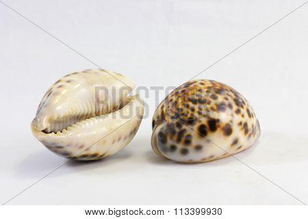 Tiger Cawrie Decorative Sea Shell
